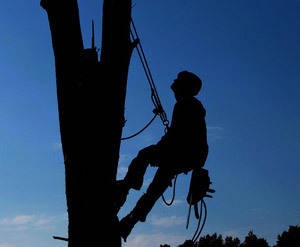 A Utility Tree Worker in silhouette safely climbs with full gear.